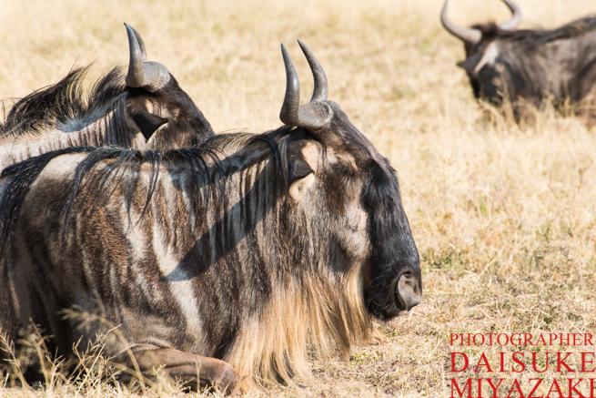マサイマラ国立公園のヌー
