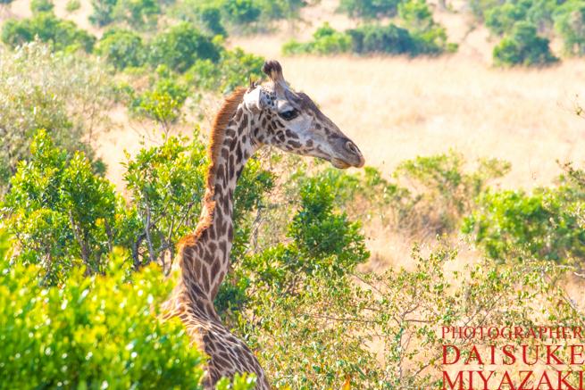 マサイマラ国立公園のキリン