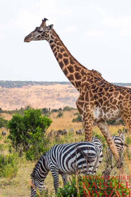 マサイマラ国立公園のキリンとシマウマ