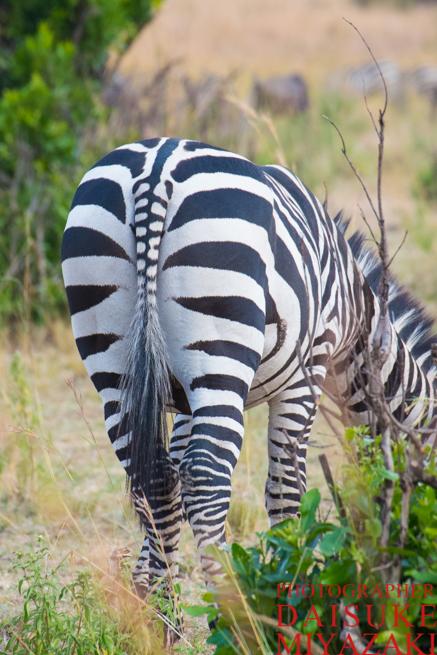 尻尾が縞々なシマウマ