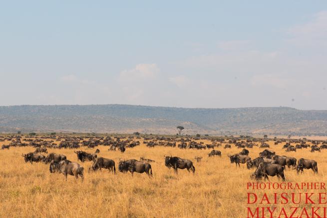マサイマラ国立公園のヌーの群れ