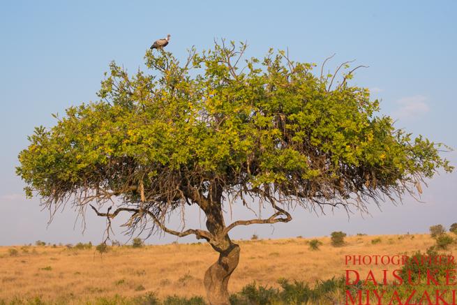 マサイマラ国立公園の木と鳥