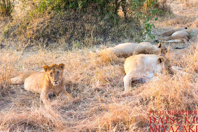 寝そべっている雌ライオン