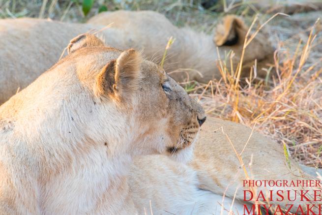 マサイマラ国立公園の雌ライオン