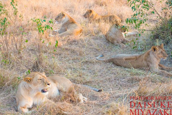 マサイマラ国立公園の雌ライオンの群れ