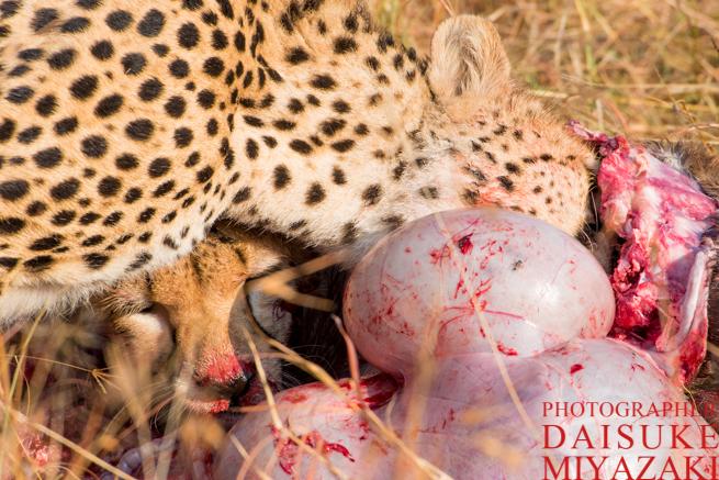 マサイマラ国立公園のチータの食事