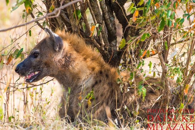マサイマラ国立公園のハイエナ
