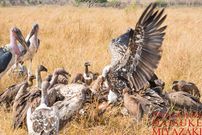 肉を奪い合うハゲタカの群れ
