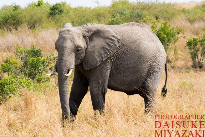 マサイマラ国立公園の象