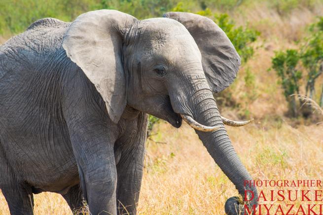 鼻を伸ばす象