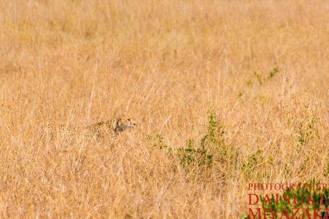 草原に隠れる狩り中のチーター