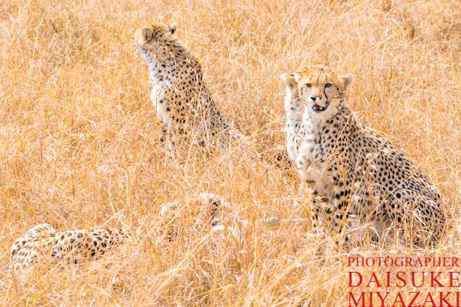 マサイマラ国立公園のチーターたち