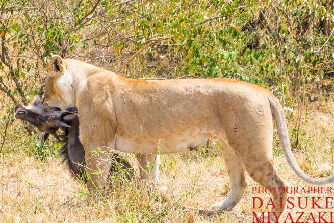 ヌーを運ぶ雌ライオン