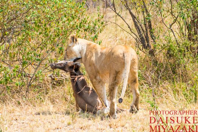 ヌーの首を噛むライオン