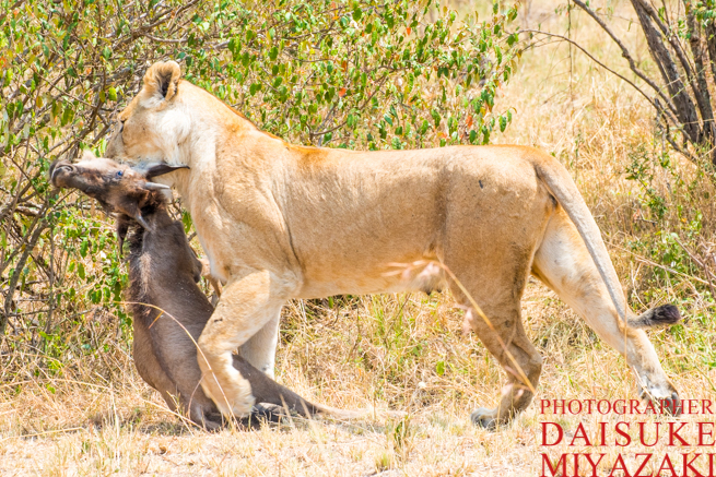 ヌーの首を噛んで運ぶライオン