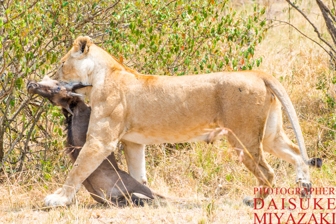 ヌーを運ぶライオン