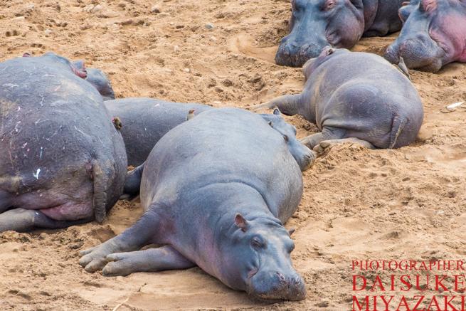 マラ川で寝るカバ