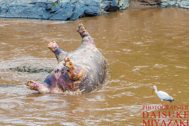 川で死んでいるカバ