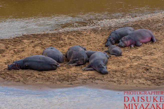 川の中州で寝ているカバたち