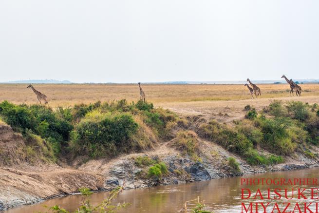 タンザニアを歩くキリンの群れ