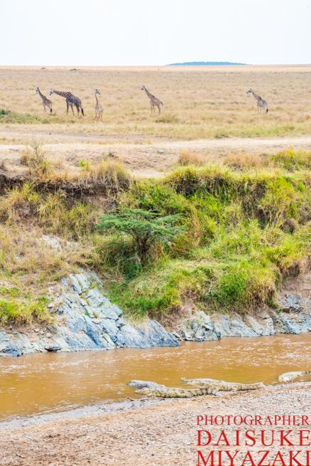 タンザニアとの国境を歩くキリン