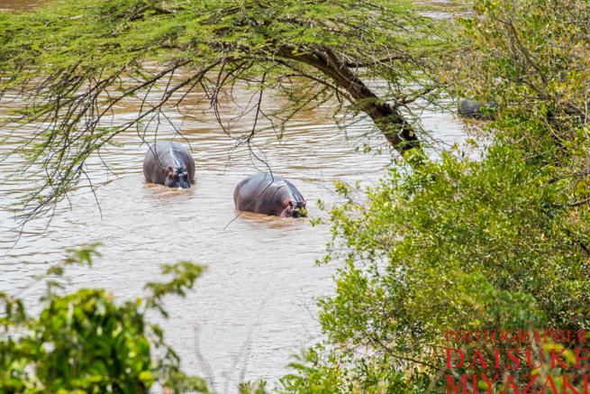 マラ川を泳ぐカバ