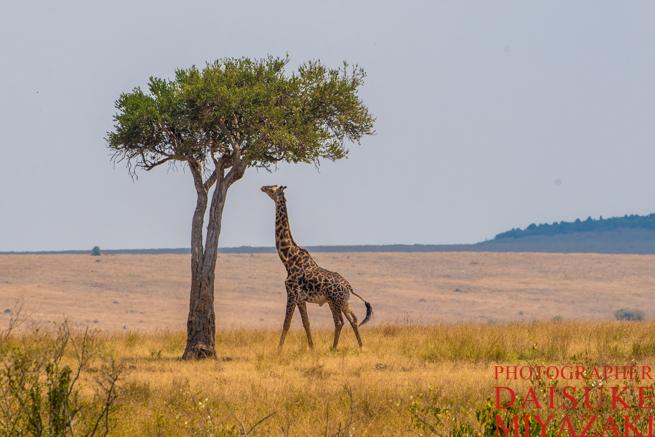 高い木の枝を食べようとするキリン