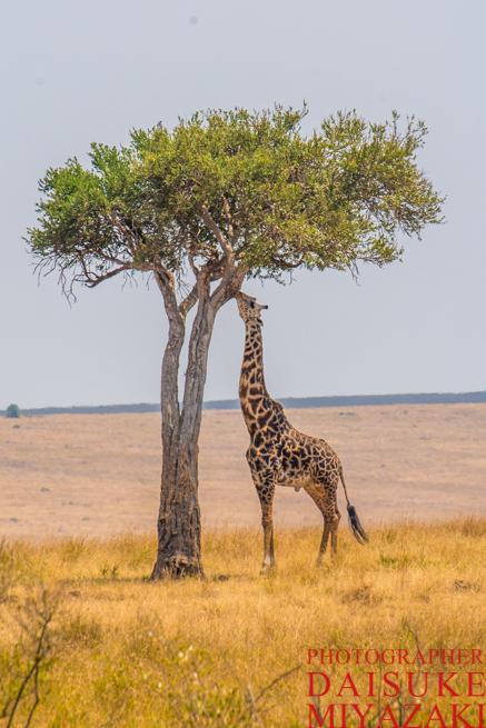 高い木とキリン
