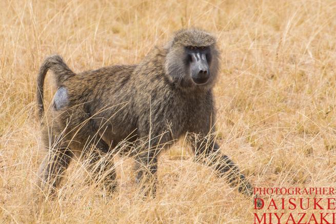 マサイマラ国立公園のヒヒ