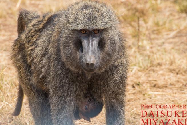 マサイマラ国立公園のヒヒの親子