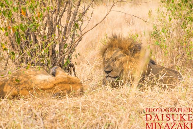 草むらで休んでいるライオン夫婦