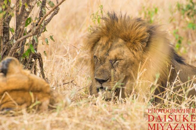 お昼寝している雄ライオン