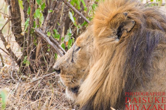 ケニアの雄ライオンのアップ