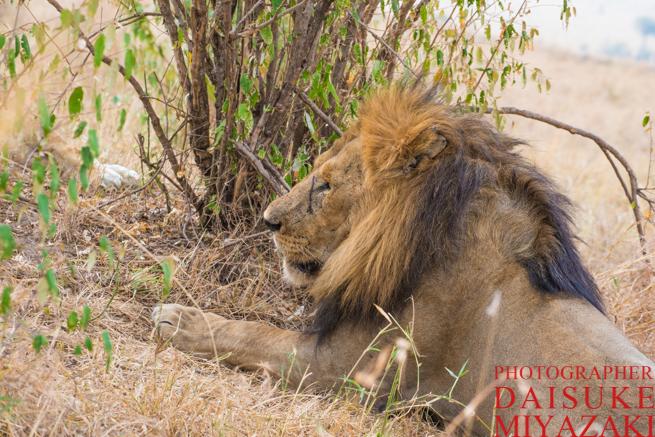 茂みで休む雄ライオン