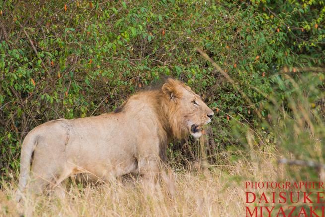 ケニアの雄ライオン