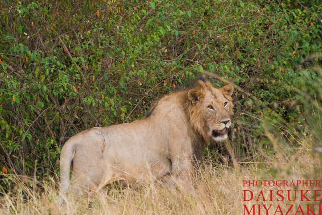 マサイマラ国立公園の雄ライオン