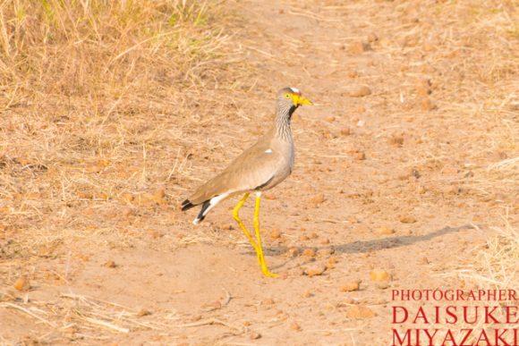 マサイマラ国立公園のうるさい鳥