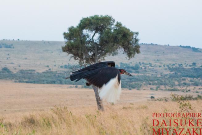 マサイマラ国立公園で飛んでいく野鳥