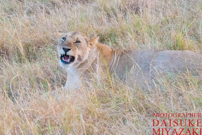 ライオンのあくび後