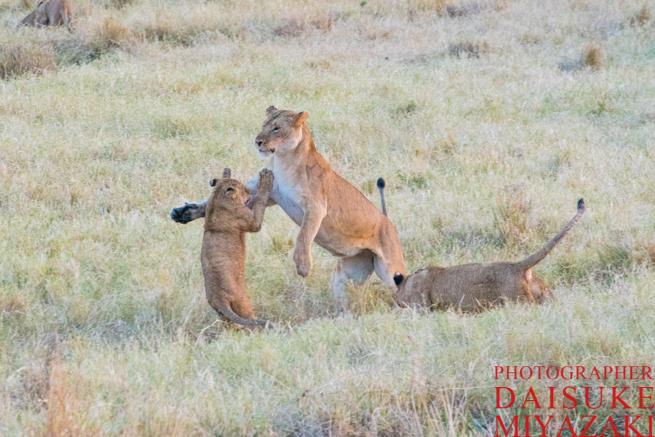 母ライオンに怒られる子ライオン