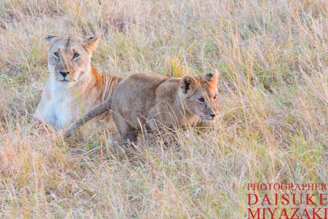 色が濃いライオンの子供たち