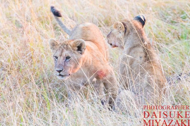 無邪気に遊ぶライオンの子供たち