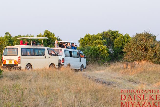 マサイマラ国立公園のサファリカーとライオン