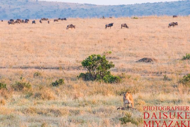 マサイマラ国立公園のヌーとライオン