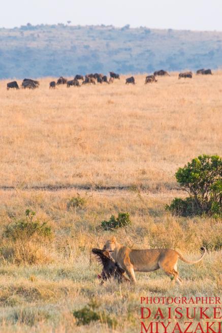 マサイマラ国立公園でヌーを運ぶライオン