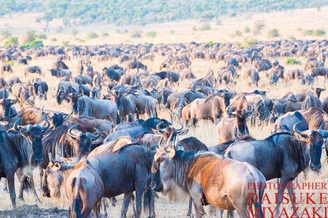 ケニアのヌーの大群