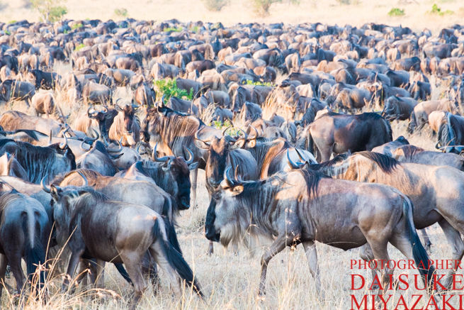 マサイマラ国立公園のヌーたち