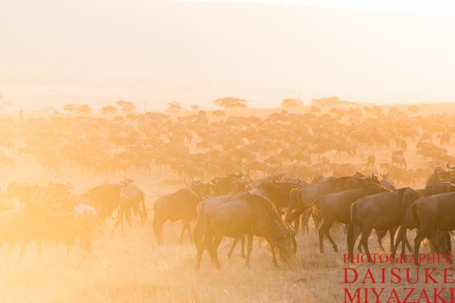 マサイマラ国立公園の早朝のヌー