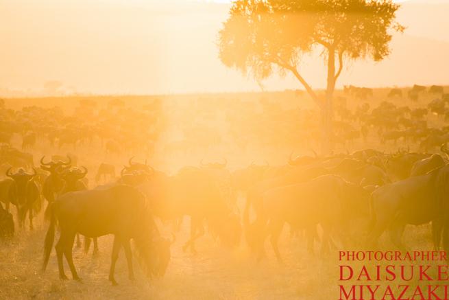マサイマラ国立公園の朝日に照らされるヌーの大群