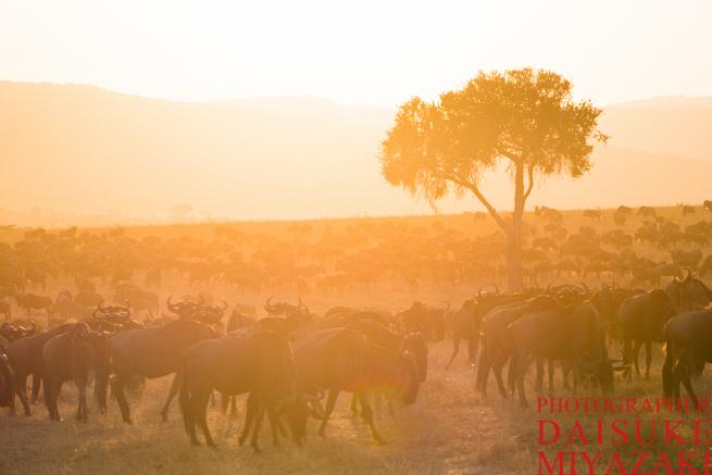 マサイマラ国立公園の早朝のヌーの群れ